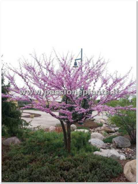 Albero di cercis passione piante vivaio online for Vivaio alberi da giardino