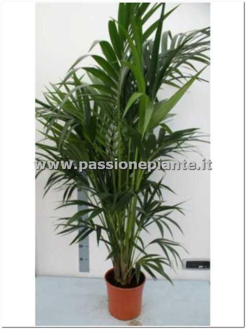 Pianta di kentia passione piante vivaio online for Piante on line