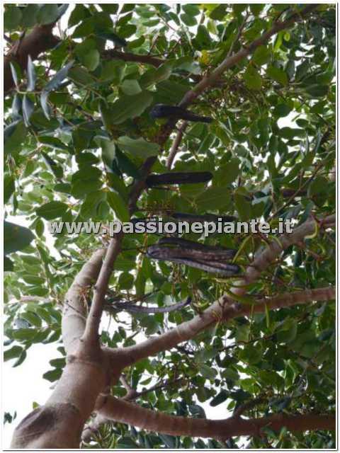 Albero di carrubo passione piante vivaio online for Catalogo alberi da giardino