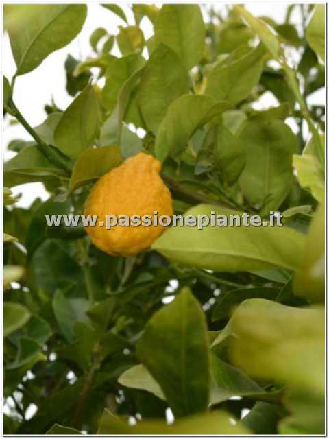 Albero di cedro passione piante vivaio online for Piante di cedro vendita