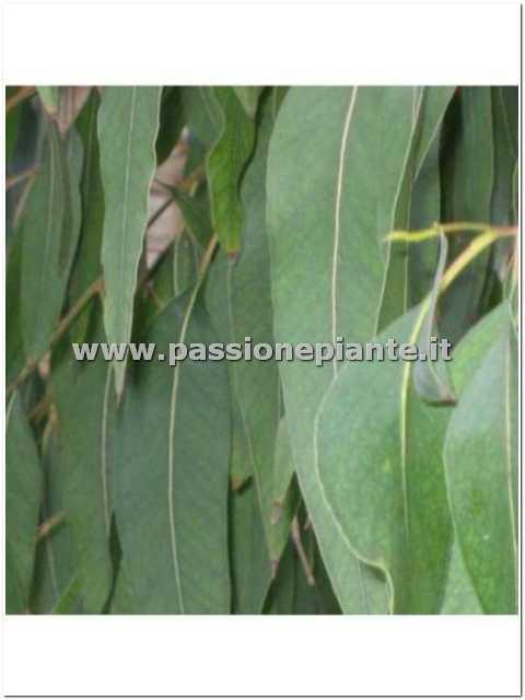 Albero di eucalyptus passione piante vivaio online for Catalogo alberi da giardino