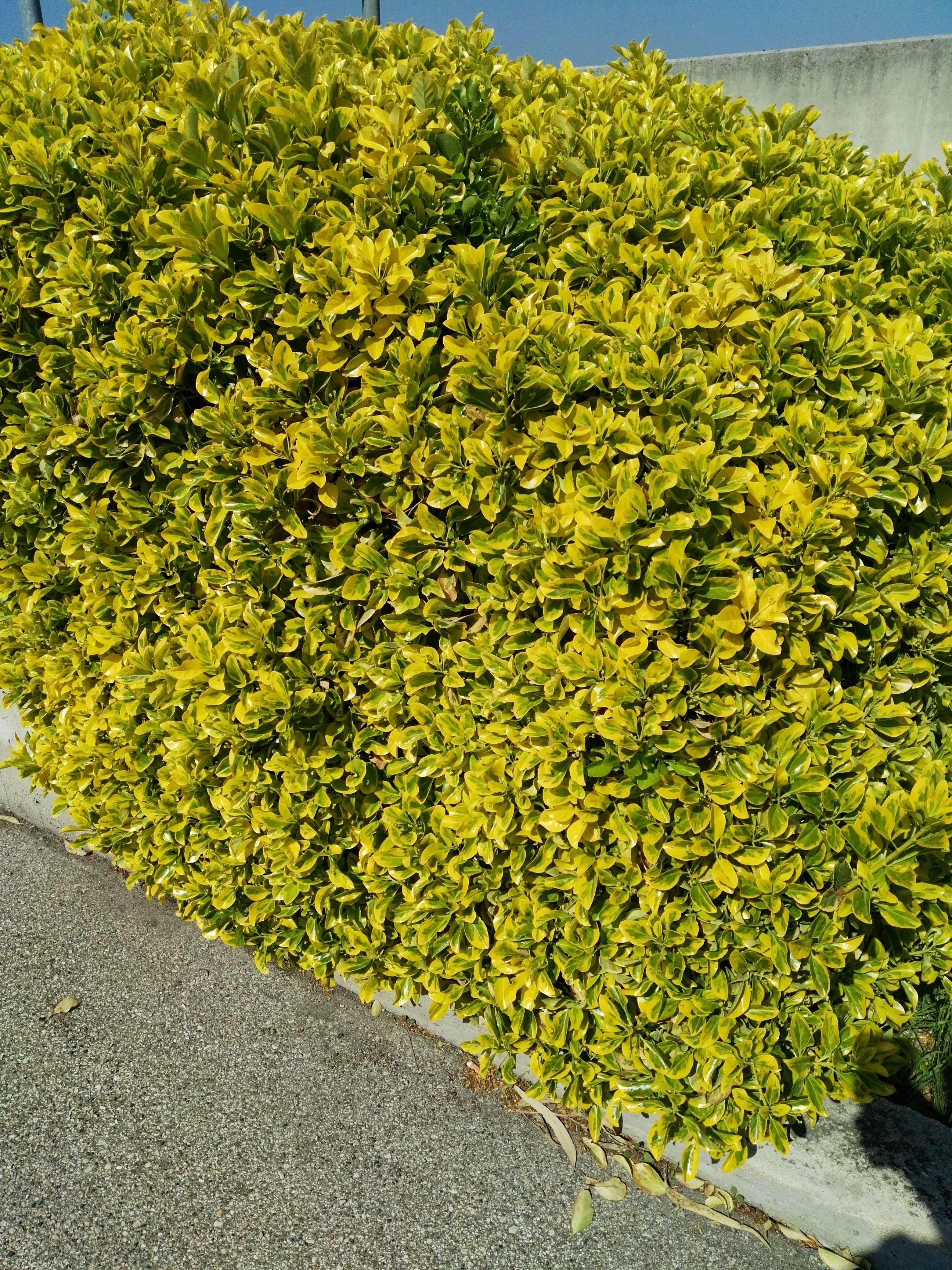 Piante Da Siepi Immagini pianta di euonymus   passione piante, vivaio online
