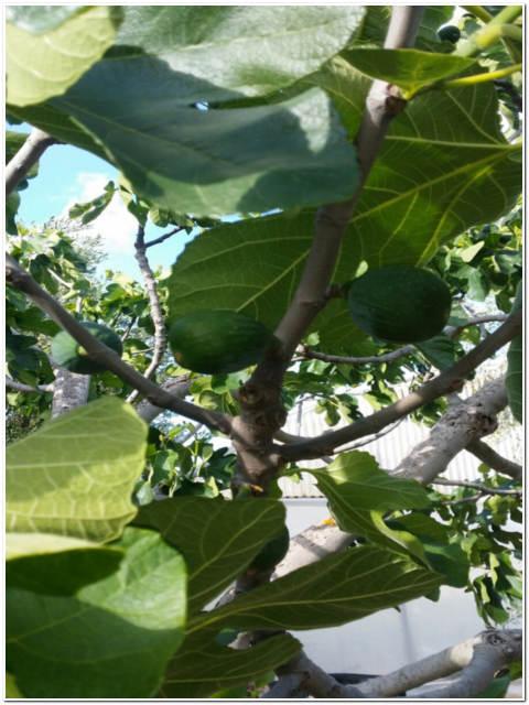 Albero di fico passione piante vivaio online for Catalogo alberi da giardino
