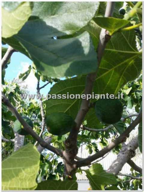Albero di fico passione piante vivaio online for Kiwi albero