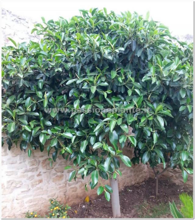 Pianta di ficus australis passione piante vivaio online for Piante da cespuglio