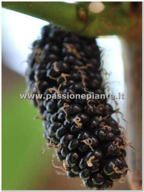Albero di gelso passione piante vivaio online for Catalogo alberi da giardino