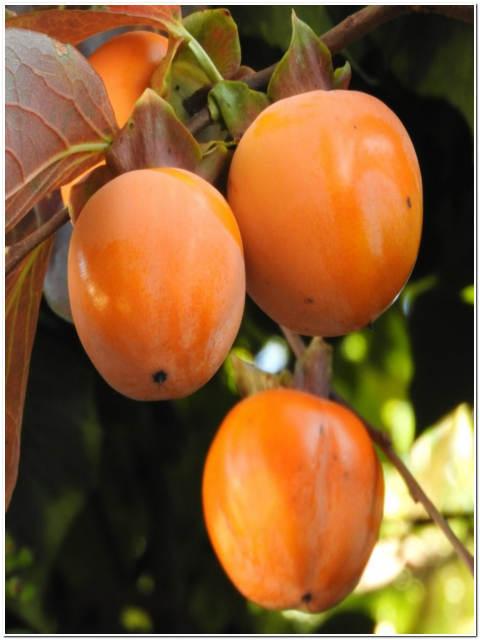 Albero di kaki passione piante vivaio online for Albero di kiwi