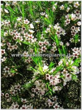 Pianta di fiore di cera passione piante vivaio online for Pianta di cera