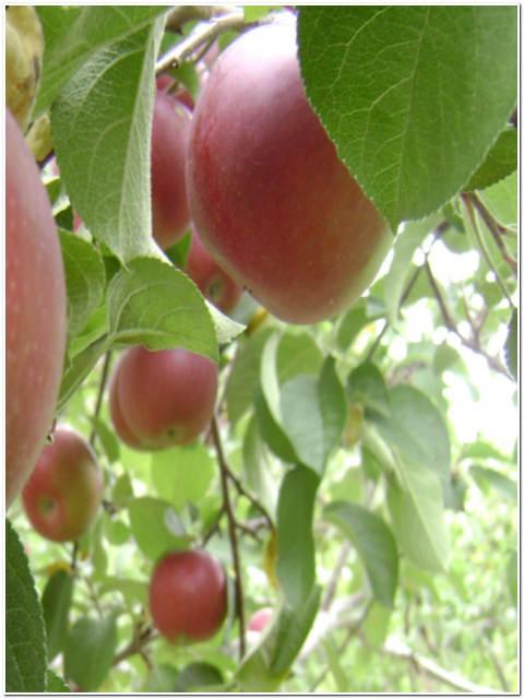 Albero di melo passione piante vivaio online for Catalogo alberi da giardino