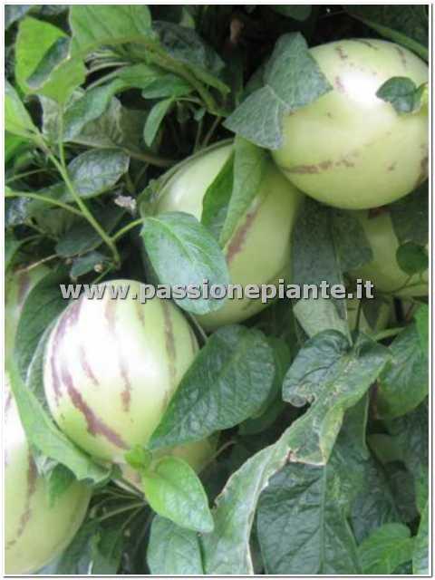 Albero di pepino passione piante vivaio online for Papino arredo