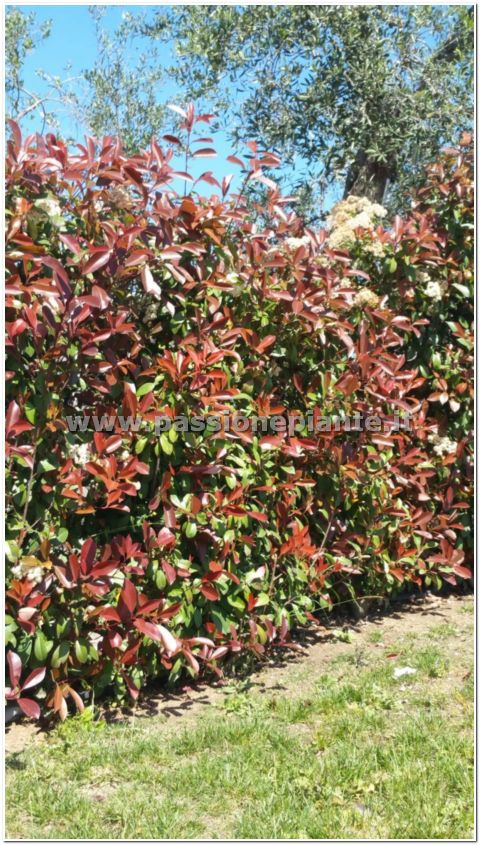 Pianta di photinia red robin passione piante vivaio online for Piante da orto vendita online