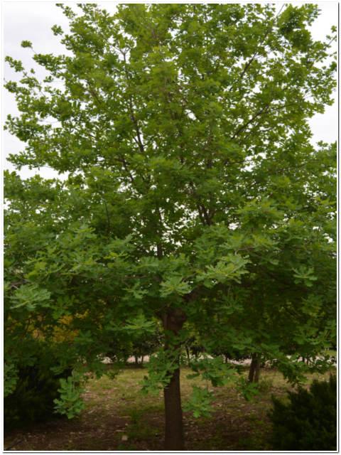 Albero di quercia ilex passione piante vivaio online for Catalogo alberi da giardino