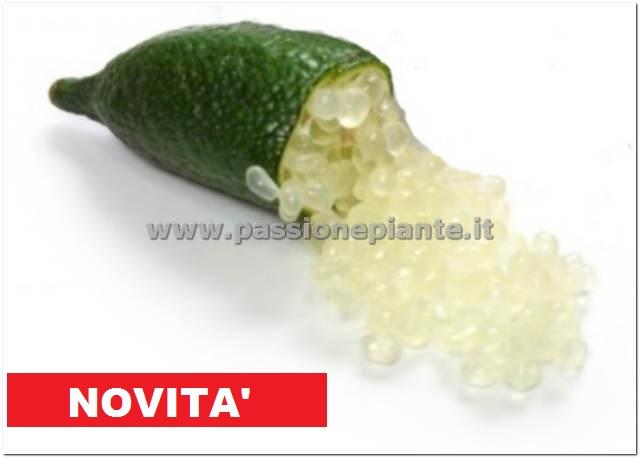 Albero di limone caviale passione piante vivaio online for Bonsai limone vendita
